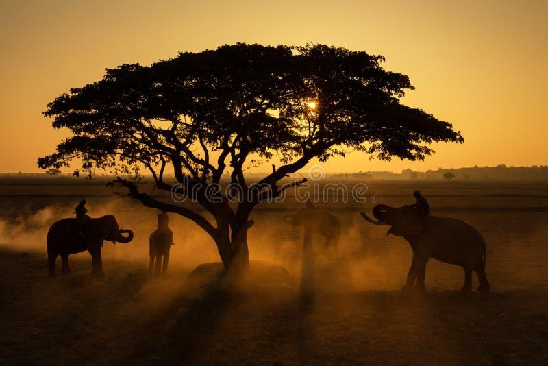 Natura della Tailandia della siluetta degli elefanti sotto l'albero ed il mahout fotografie stock libere da diritti