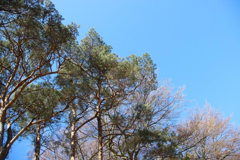 Natura Drzewo Stawiaj?cy Naprz zdjęcie royalty free