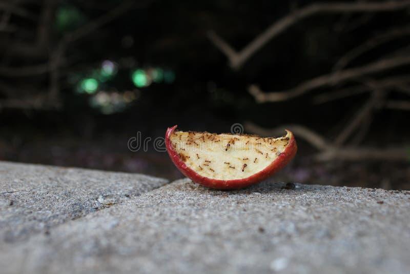 Natura: formiche che mangiano una mela immagini stock