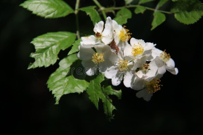 Natura fresca e pura Rose e foglie verdi selvagge bianche sboccianti con soleggiato fotografia stock libera da diritti