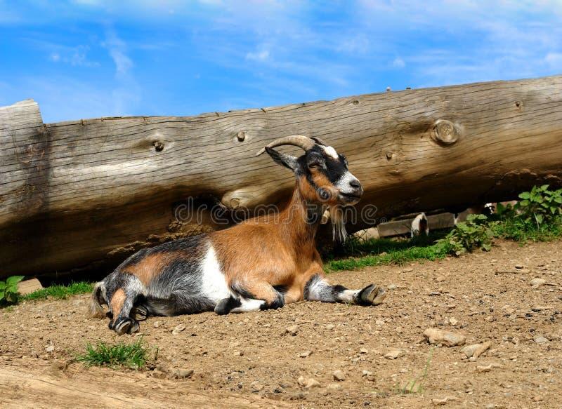 Natura, granja, cabra joven, foto de archivo