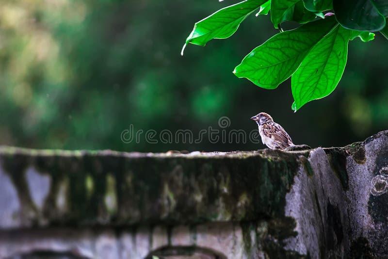 Natura jest widzieć wróblami łatwo według ogrodzenia ponieważ ptasi mieszkaniec, według ścian dom dostawać jedzenie obraz stock