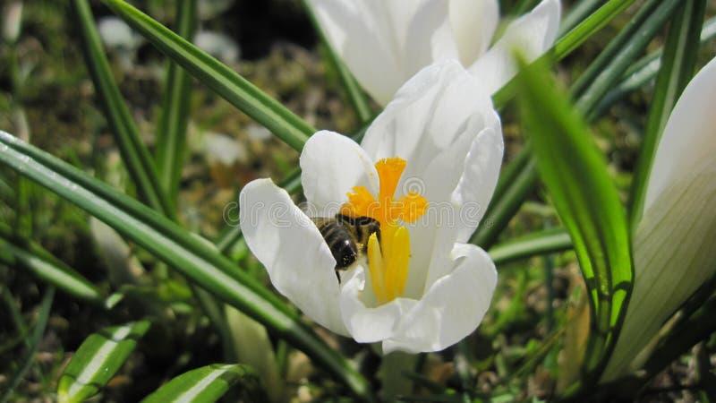 Natura kwiatu pszczoła obrazy royalty free