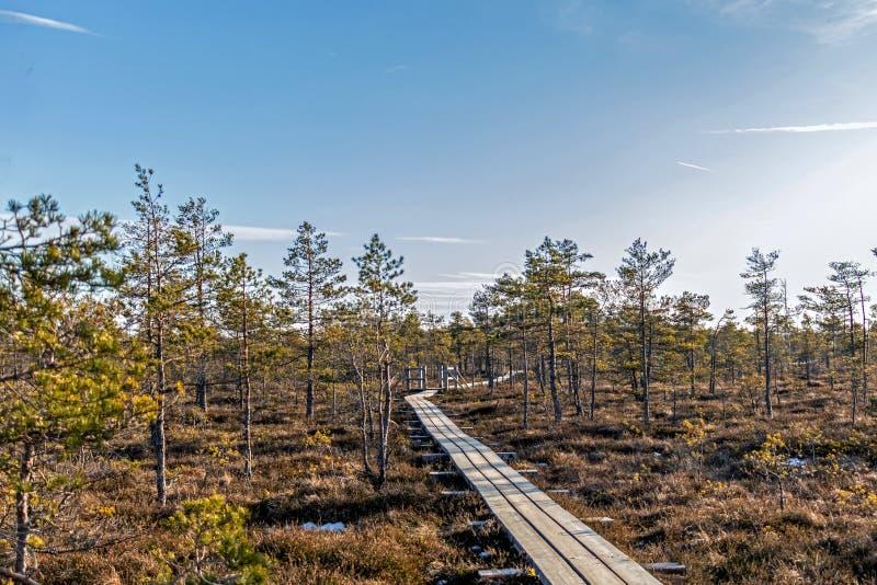 Natura Latvia, Wielki Kemeri bagno: Panoramiczny jesień krajobraz z drewnianą ścieżką nad bagnem Spadek natury tło obrazy royalty free