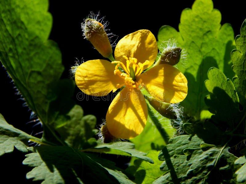 Natura - majus del Chelidonium fotografia stock libera da diritti