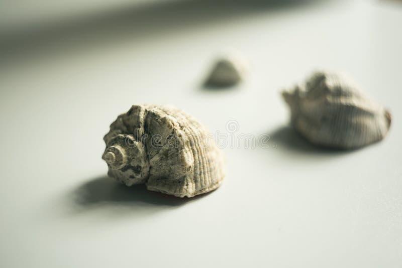 Natura morta con le conchiglie su un fondo leggero fotografia stock libera da diritti
