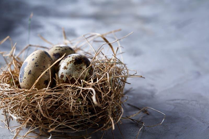 Natura morta concettuale con le uova di quaglia nel nido del fieno sopra fondo grigio, fine su, fuoco selettivo fotografia stock