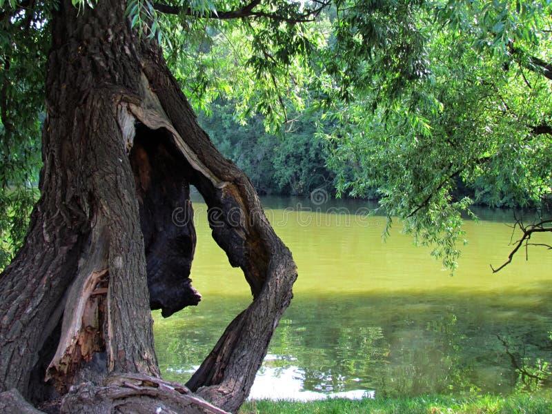 Natura morta naturale con il vecchio albero nocivo, wiillow rotto in acqua immagine stock