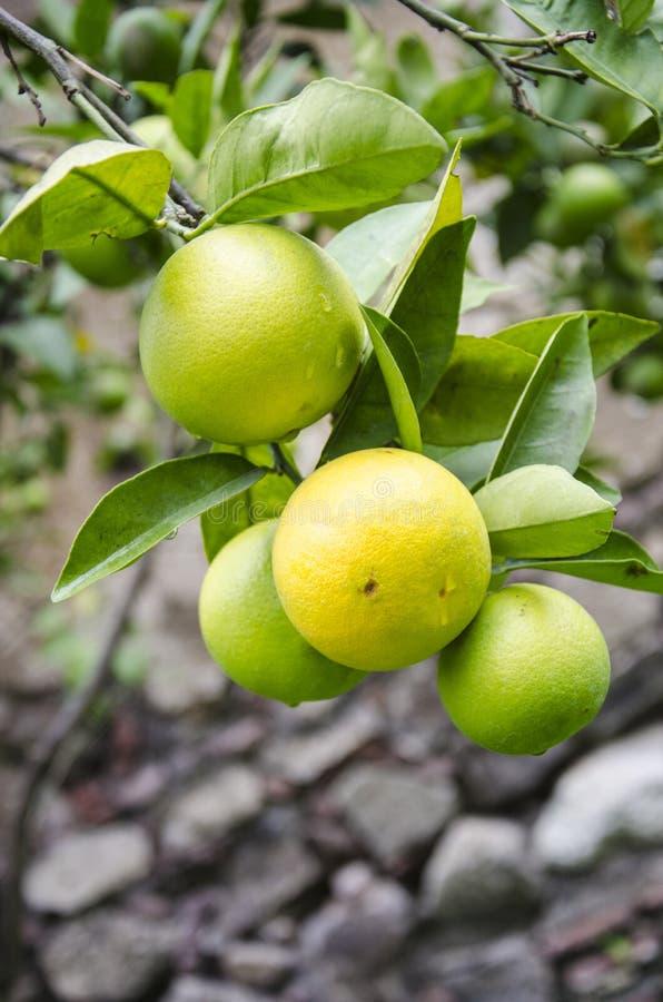 Natura ogród - pomarańczowe owoc fotografia royalty free