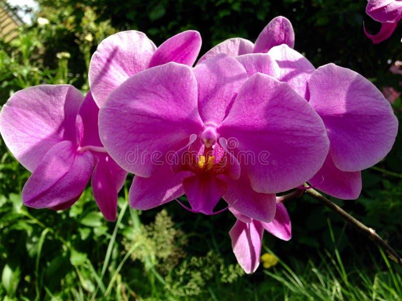 Natura porpora del fiore dell'orchidea fotografia stock
