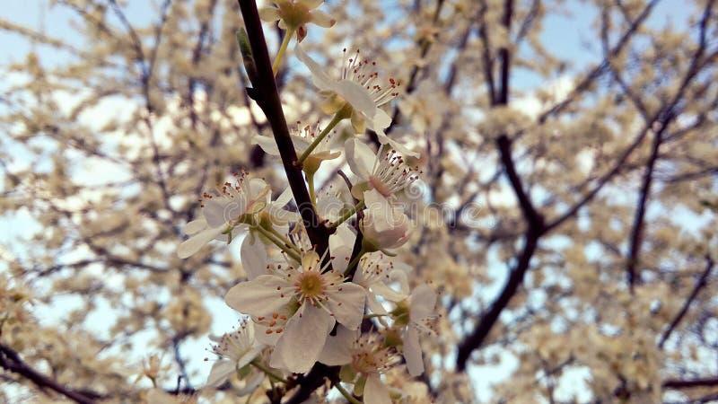 Natura rosa della molla dell'albero del fiore immagine stock