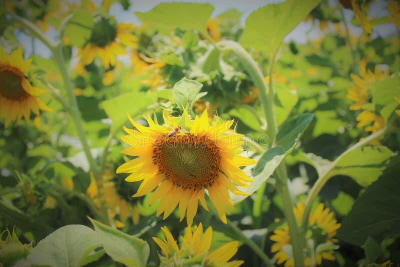 Natura słonecznik obrazy stock