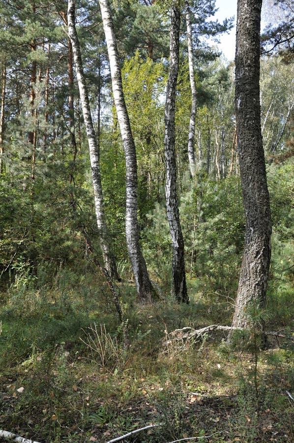 Natura selvaggia Foresta della betulla nella fine dell'estate immagine stock libera da diritti