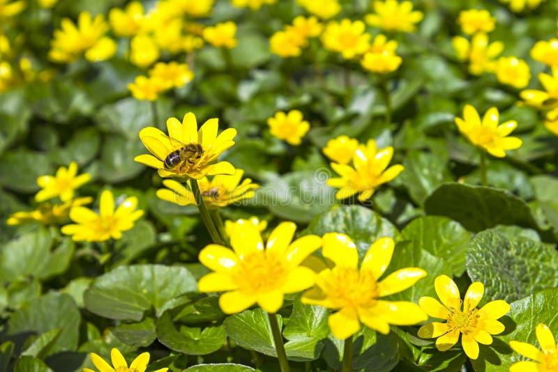 Natura soleggiata luminosa della molla gialla dei ranuncoli del prato fotografie stock