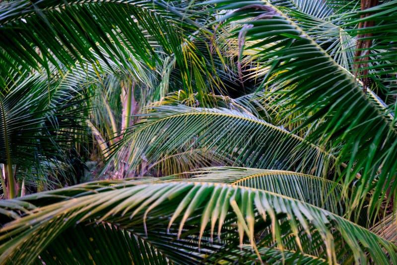 Natura verde della foglia del primo piano per fondo Creativo fatto delle foglie verdi dell'albero Alberi del cocco fotografia stock libera da diritti