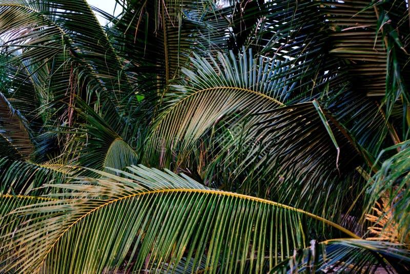 Natura verde della foglia del primo piano per fondo Creativo fatto delle foglie verdi dell'albero Alberi del cocco immagine stock