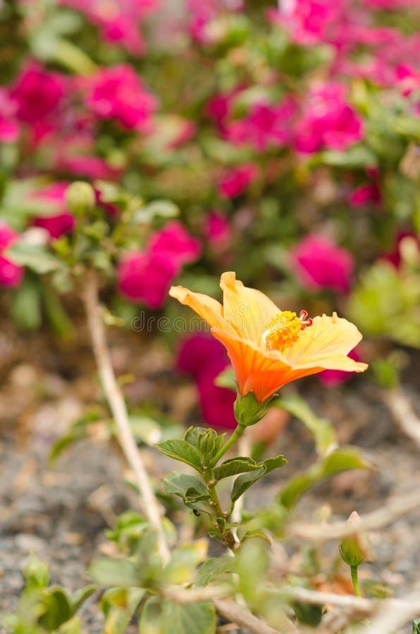 Naturaffisch Gul hibiskus arkivbilder