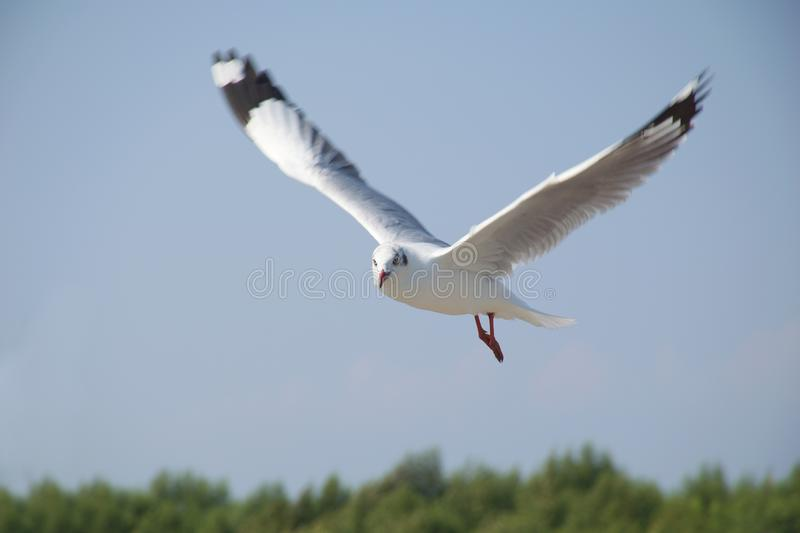 The seagull flying and turn a head seeking for destination stock photos