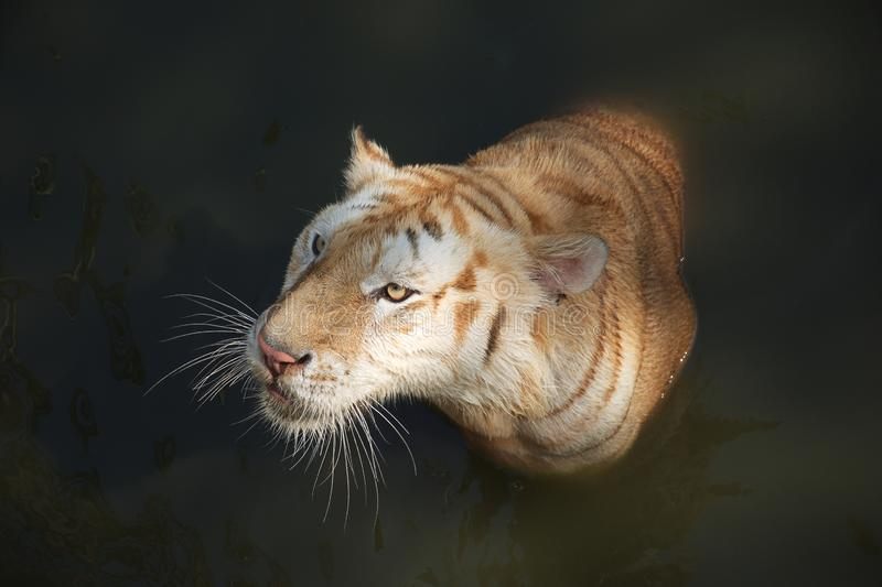 The white tiger looking at some victim stock images