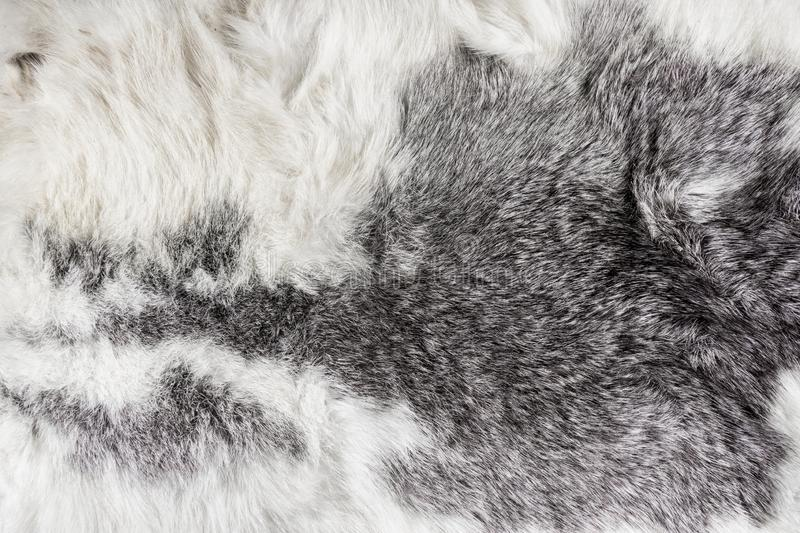Natural animal fluffy gray and white long hair fur for background.  royalty free stock image