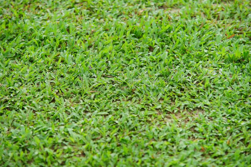 Natural asian green grass closeup in the morning royalty free stock images