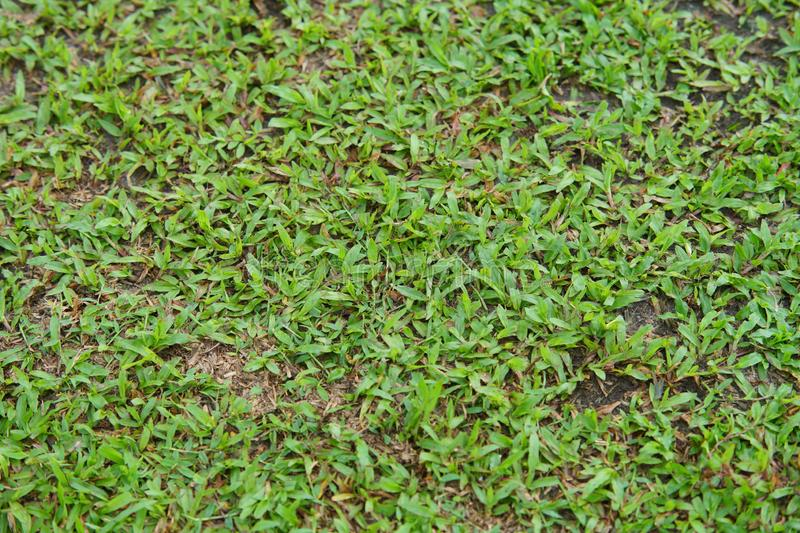 Natural asian green grass closeup in the morning royalty free stock image