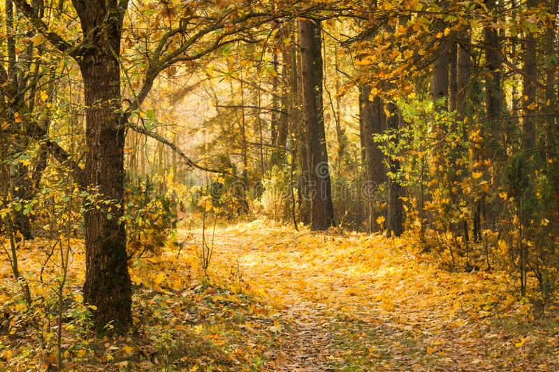 Path in autumn forest covered with yellow leaves. Beautiful calm fall landscape. royalty free stock image