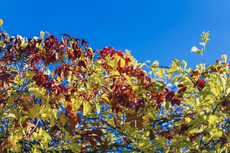 Natural autumn background of wild colorful foliage against the blue sky. Colors and texture of autumn, bright color royalty free stock images