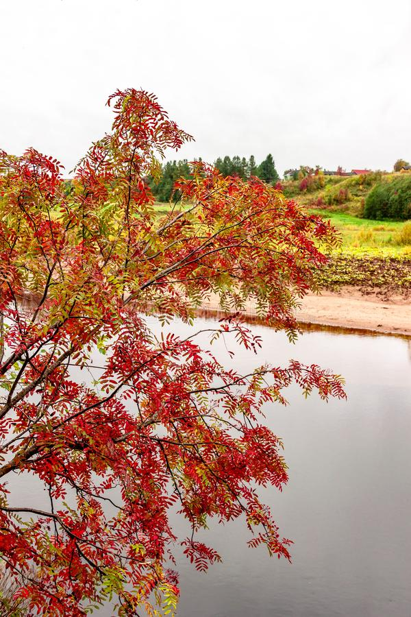 Natural autumn landscape with river shore and village view on natural fall rowan mountain ash tree background. Selective soft focus. Text copy space. Autumn stock photos