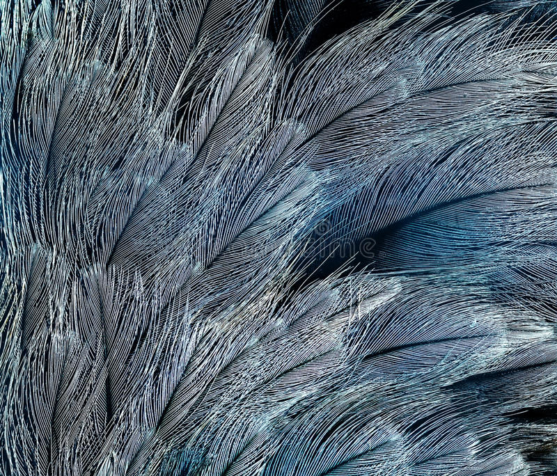 Natural backdrop of the bright blue feathers of the birds are d stock photos
