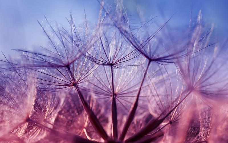 natural backdrop of the fluffy seeds of the dandelion flower close-up in purple tones royalty free stock photography