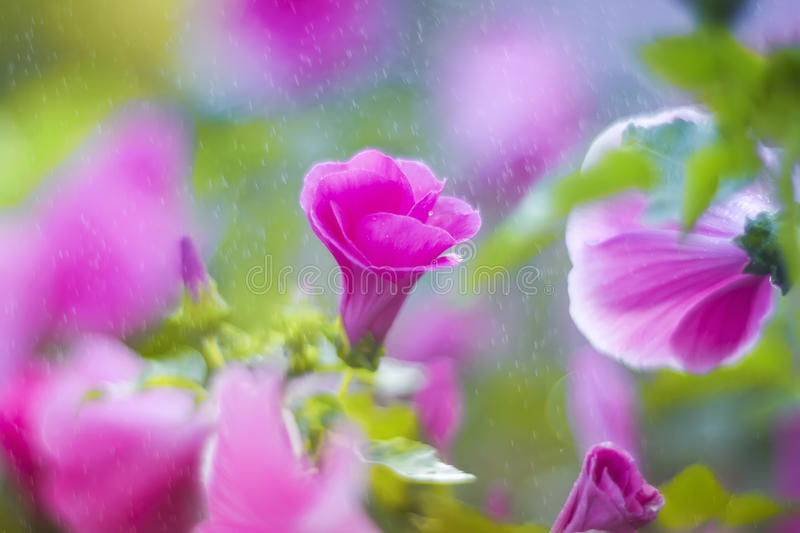 Natural backdrop of fragrant pink flowers, shiny rain and sun glare royalty free stock photo