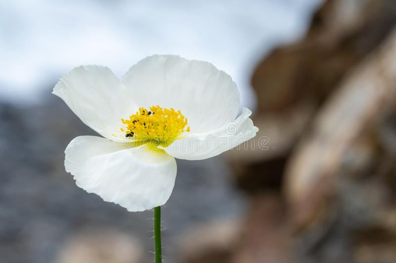 Natural backgound. Photo of white poppy flower in close up stock photography