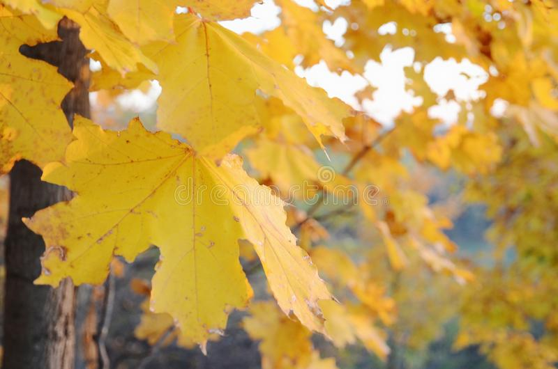 Natural background autumn yellow maple leaves outdoors royalty free stock photography