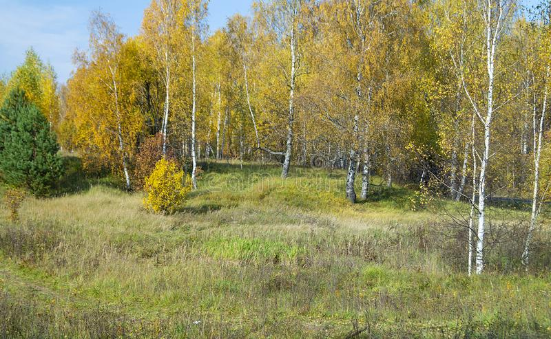 Natural background with birch by grove by autumn royalty free stock photography