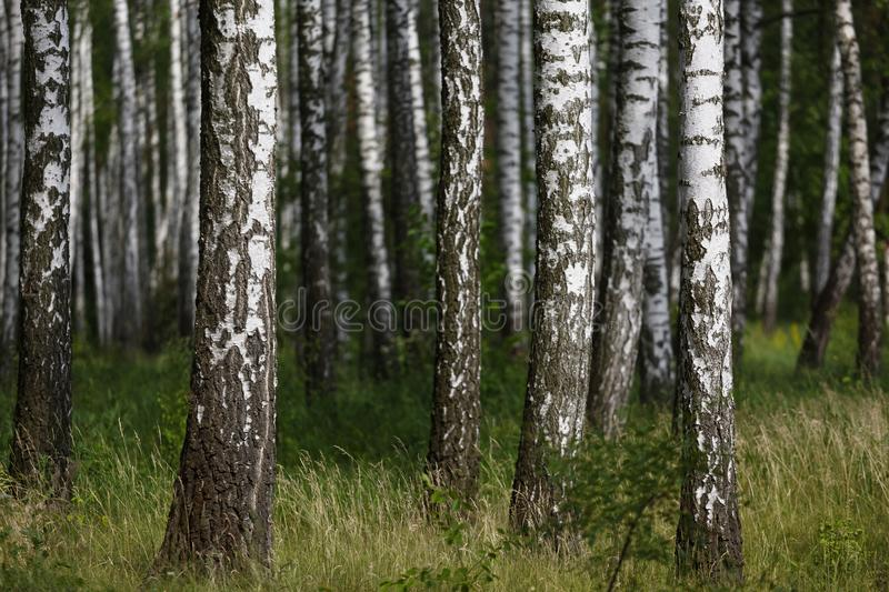 Natural background, birch grove, forest, summer birchwood, Beautiful landscape. non-urban, royalty free stock images