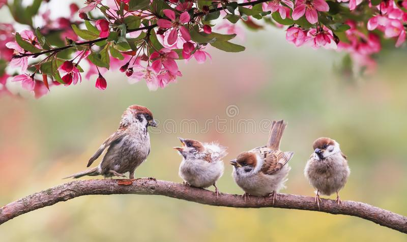 Natural background with birds sparrow with little chicks sitting on a wooden fence in the village garden surrounded by yab flowers. Natural with birds sparrow stock image