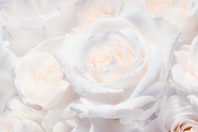 Natural background, bouquet with white roses with dew drops, close-up, selective focus stock image
