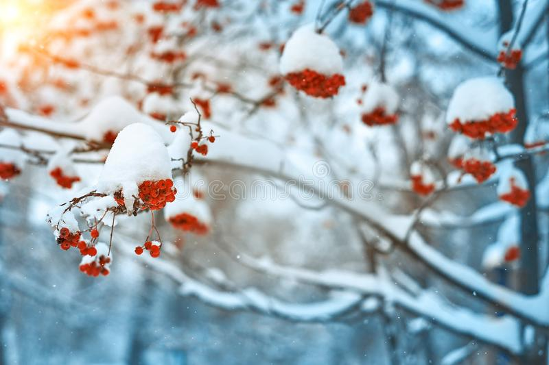 Natural background. Bright red berries of mountain ash covered with snow. Cold warm tones royalty free stock photo