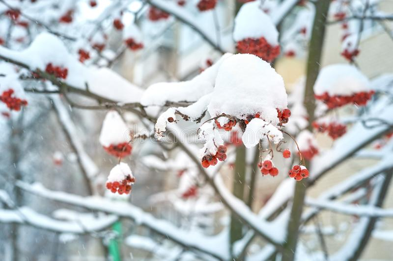 Natural background. Bright red berries of mountain ash covered with snow. Cold warm tones stock images