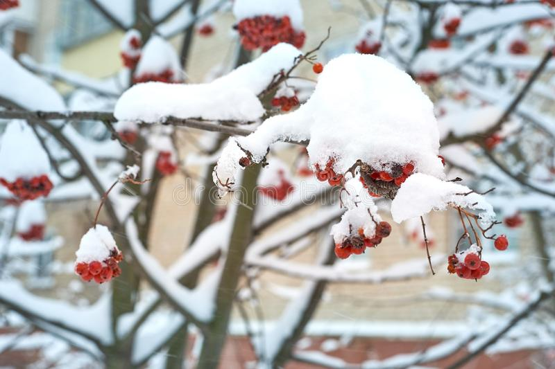 Natural background. Bright red berries of mountain ash covered with snow. Cold warm tones royalty free stock photos