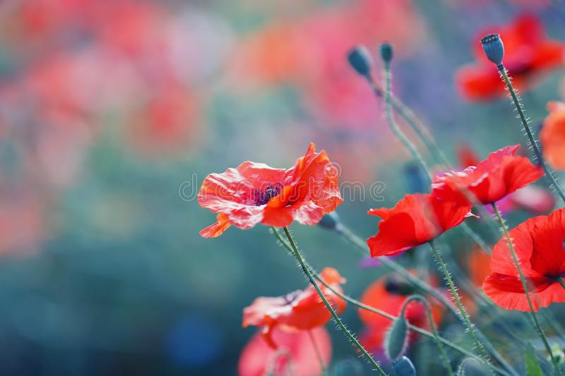 Natural background with bright scarlet poppy flowers bloomed on a summer field on a warm soft June evening. Bright scarlet poppy flowers bloomed on a summer stock photos
