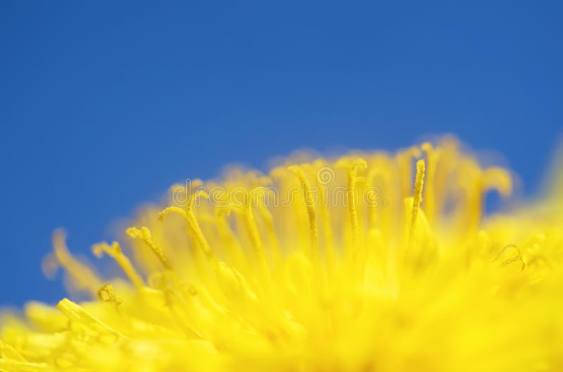 Natural background with a bright yellow semicircle sunny flower dandelion closeup honey-covered pollen blossomed on a spring sunny. Natural background with a stock photo