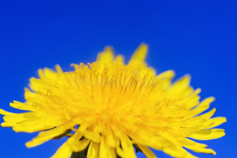 Natural background with bright yellow spring sunny flower dandelion closeup honey-covered pollen grows in a spring clear sunny day. Yellow spring sunny flower royalty free stock images