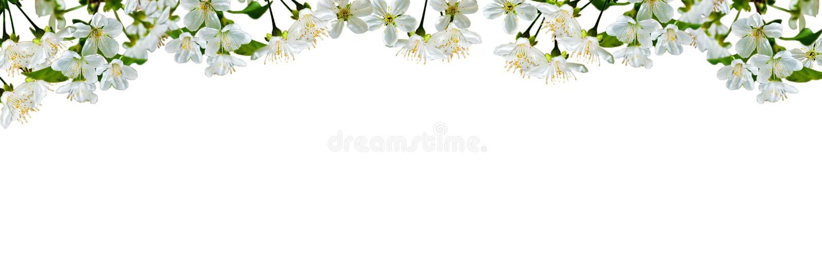 Natural background with cherry flowers and leaves. Cherry flowers and leaves isolated on white background. Natural background. Isolation is on a transparent stock image