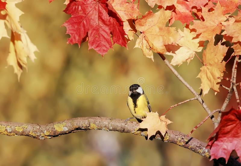 natural background with colourful bird sitting in an autumn garden on the branch of a maple with bright red leaves a clear day royalty free stock photos