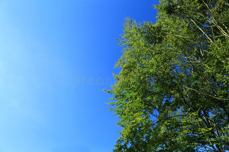 Treetop against blue sky. Natural background with copy space: green leafy treetop and cloudless blue sky royalty free stock images