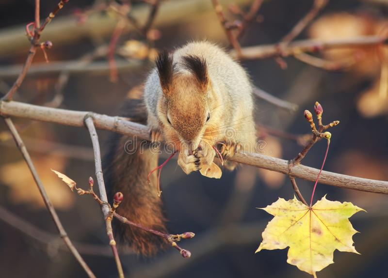 Natural background with cute fur animal red squirrel in autumn f stock image