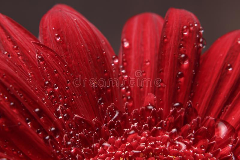 Natural background. Details of red flower Gerber macro photography. Macro view of abstract nature texture and background organic p. Attern. Copy space. Template royalty free stock photos