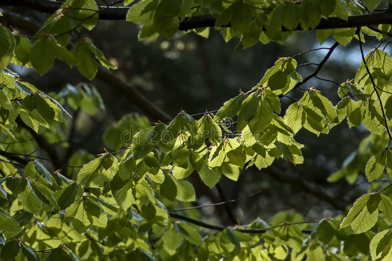 Natural background of Elm or Ulmus green springtime branch in the Plana mountain stock image